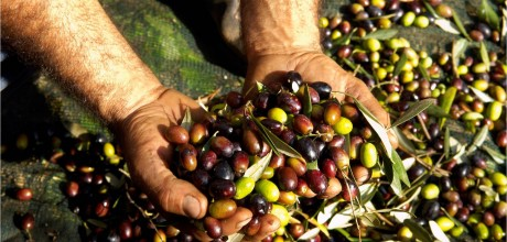 production-of-olive-oil-11